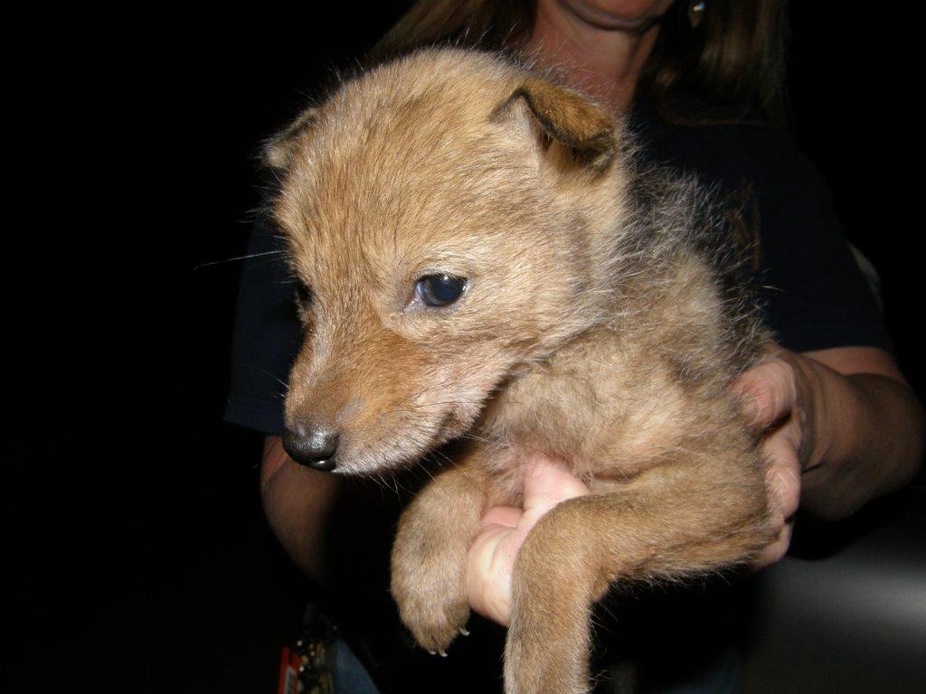Coyote pup Holly